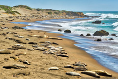 Piedras Blancas Elephant Seal Rookery (mhoffman1) Tags: ocean california ca sea beach mammal coast sand shoreline bigsur pacificocean seal hdr elephantseal sunning miroungaangustirostris sonyalpha a7r aurorahdr