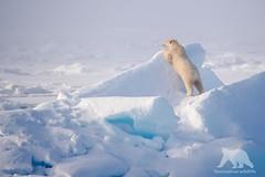Polar Bear Lookout (fascinationwildlife) Tags: bear sea wild summer snow cold ice nature animal norway mammal wildlife natur north lookout pole arctic polar predator spitsbergen br eisbr spitzbergen