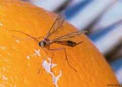 Naranjita (Nando Verd) Tags: macro up grande fly close bokeh crane fruta alicante mosquito ojos patas cabeza alas tres naranja mosca huevo pequeo elda petrer insecto volar hembra tipula torpe largas artropodo aguijon ovopositor