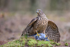 It's mine now (Kees499  Nature pics) Tags: nikon hawk pigeon natuur hide prey duif coffeetime goshawk havik wildlfe mantling d810 mantelen hutfotografie keesmolenaar