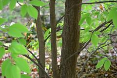 Japanese Blue Beech (qooh88) Tags: trunk fagus talltree fagaceae  broadleaftree       japanesebluebeech fagusjaponica
