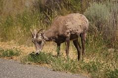 Mountain Sheep (Tjflex2) Tags: mountainsheep concordians