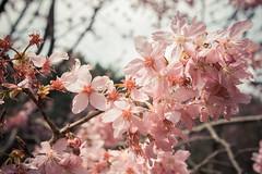 20160306-DSC_6137 (Kay's...) Tags: cherryblossom sakura   wuling wulingfarm