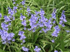 UK - London - Lambeth - Bluebells in Carlisle Lane (JulesFoto) Tags: uk england london bluebells lambeth ramblers capitalwalkers