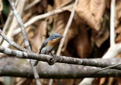 Satin Flycatcher (Dan Armbrust) Tags: australia queensland cannon satin flycatcher australianbirds queenslandaustralia armbrust 70d daintreebirds danarmbrust
