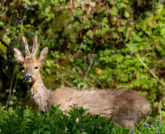 A walk in the woods 3 (Mukumbura) Tags: trees england sunlight nature spring woods wildlife somerset deer antlers buck bushes