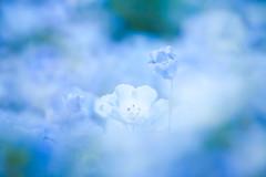 Hitachi Seaside Park 2016 #6 (kobaken++) Tags: park flower nature field japan canon lens eos seaside bright bokeh  5d  depth hitachi ibaraki markii   mark2    hitachinaka          kobaken