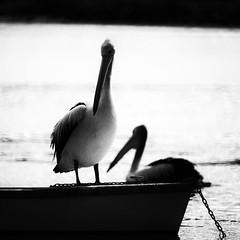 Mates (Ptolemy the Cat) Tags: sea blackandwhite bw beach pelicans monochrome birds seaside highcontrast waterbirds nikond600 nikonnikkorf8500mmreflexlens