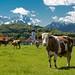 Kühe im Werdenfelser Land