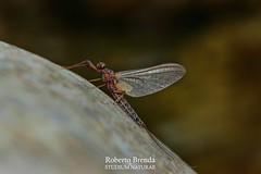 Habroleptoides confusa subimago male (Roberto PE) Tags: ephemeroptera leptophlebiidae habroleptoides