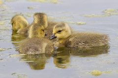 Canada Goslings 4-30-2016-9 (Scott Alan McClurg) Tags: life wild baby canada bird nature water animal swimming swim geese spring woods wildlife goose neighborhood wetlands suburbs gosling gliding waterfowl canadagoose canadageese waterbirds naturephotography glide branta anserinae anserini bcanadensis babygosling