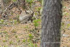 _16A7168 (gabrielecristiani) Tags: natura riposo dormire bosco capriolo