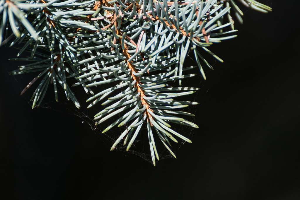 Tannenbaum Blaufichte.The World S Best Photos Of Blaufichte Flickr Hive Mind