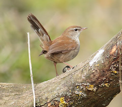 Cetti's Warbler 1 May 16 (JimP1445) Tags: warbler cettis