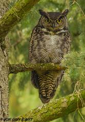 Great Horned Owl (orencobirder) Tags: birds owls flickrexport facebook bestofyear largebirds