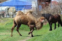 Bactrian camel (Marcell Krpti) Tags: horse animal mammal hungary circus mammalia bactriancamel camelidae artiodactyla camelusbactrianus pszt ktppteve baktrin