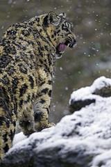 Orya yawning on the slope (Tambako the Jaguar) Tags: winter wild snow cold tongue cat walking zoo switzerland big nikon stones profile fluffy climbing zrich openmouth slope snowleopard yawning d4 uncia