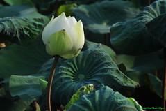 Hoa sen (Ct ng) Tags: summer plant flower leaf lotus l    sen hoa         hoasen bng   thcvt mah bngsen  lsen