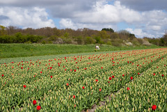 Holland (romanboed) Tags: leica flowers red horse white flower holland netherlands bulb clouds landscape early spring europe farming m business tulip fields bulbs buds agriculture 50 summilux 240