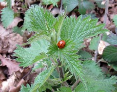 lady bug (postman.pete) Tags: park christmas street new old city bridge family pink flowers blue trees winter light sunset red sea summer portrait sky people bw music food orange dog sun white house lake snow plant flower macro tree green bird art beach nature water field car animal night clouds cat butterfly bug river garden insect landscape blossom outdoor depth comma eggshellmosaicsunsetbeachwaterskyflowerredbluenaturenighttreewhitegreenflowersportraitartsnowlightdogsuncloudscatwinterparkstreetlandscapesummertreesseacityyellowchristmaslakefamilybridgepeoplebirdriverpinkhousecarfoodbwoldmacronewmusicorangegardenpigeonc