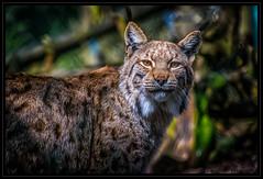 Luchs (P.Hcherl) Tags: animal cat germany bayern deutschland bavaria zoo nikon katze tierpark tamron lynx tier oberpfalz bayerischerwald 2016 luchs lohberg upperpalatinate d5300 16300mm tamron16300mmf3563diiinafvcpzdmacro