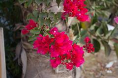 Bougainvilla (marylea) Tags: pink flower israel telaviv bougainvillea 2015 may15 telavivyafo