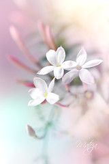 The fragrance of flowers spreads only in the direction of the wind. But the goodness of a person spreads in all directions. (* mateja *) Tags: pink white plant flower vertical flora soft blossom pastel bloom buds fragrance jasminumofficinale