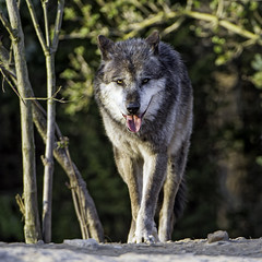 Timberwolf walking towards me (Tambako the Jaguar) Tags: trees portrait dog black tongue germany walking zoo nikon wolf gray canine hannover canadian vegetation panting coming openmouth hanover bushes approaching timberwolf d4 canid