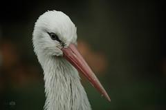 ...Storchi... (rhonz.photo) Tags: tiere natur vgel schnabel storch gefieder