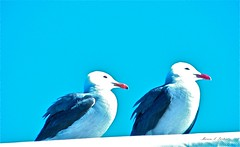 Laughing Gulls (Marcia Portess) Tags: nature birds mexico gulls aves explore puertovallarta gaviotas gaviotareidora laughinggulls redbeaks marciaportess marciaaportess