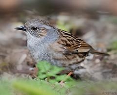 USA_3325 (Weinstckle) Tags: vogel heckenbraunelle