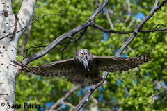 GG22 (Sam Parks Photography) Tags: trees wild summer usa bird nature animal forest rockies rodent fly flying inflight spring wings woods nps wildlife unitedstatesofamerica ghost hunting feathers meadow aves raptor northamerica rockymountains hunter prey wyoming greatgrayowl soaring phantom predator carnivorous naturalworld jacksonhole avian soar hunt tetonrange parkservice strigiformes grandtetonnationalpark predatory aspentree strixnebulosa predation gye mountainous carnivora strigidae gtnp greateryellowstoneecosystem aspenstand horizontalorientation carniore