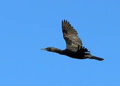 Little Black Cormorant (NathanaelBC) Tags: lake bird water pond native australia canberra wetland cbr