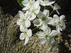 Flowering Tree Blooms (kendoman26) Tags: fuji bloom pointandshoot fujifinepix bradfordpear floweringtree calleryana niksoftware pryus nikcolorefex4pro fujifinepixs1 pryuscalleryana