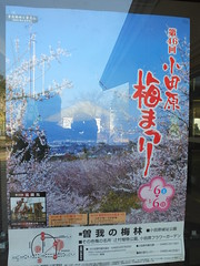 16i5127 (kimagurenote) Tags: apricot ume  japaneseapricot  prunusmume sogabairin   odawarakanagawa
