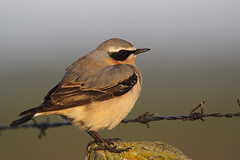 Northern Wheatear (Chris B@rlow) Tags: bird nature birds canon outdoors wildlife northumberland cresswell wheatear oenantheoenanthe northernwheatear britishbirds ukwildlife ukbirds