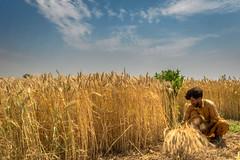 Wheat Harvest (Azarbhaijaan) Tags: pakistan gold photographer pentax wheat harvest k3 baghdadi shahpur pakistaniphotographer azharmunir drpanga shwkat