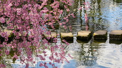 spring melancholy (All Shine) Tags: reflection water spring pond blossom