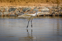 Levitation (malc1702) Tags: nature water beauty birds animals wildlife grace egret sanctuary greategret largebirds fantasticnature unlimitedphotos flickrunitedaward nikond7100 tamron150600