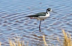 One-legged Willie -- Black-necked Stilt (Himantopus mexicanus); Belen Wetlands, NM [Lou Feltz] (deserttoad) Tags: newmexico reflection bird nature water pond wildlife wetlands behavior stilt shorebird wildbird