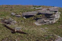 ItsusikoHarria-54 (enekobidegain) Tags: mountains montagne vultures monte euskalherria basquecountry bui pyrnes pirineos mendia buitres paysbasque nafarroa pirineoak bidarrai saiak vautours itsasu itsusikoharria
