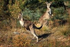 Hop to Hill End (Darren Schiller) Tags: animals fauna australia kangaroo newsouthwales marsupial hillend