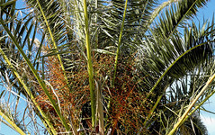Date Palm (Torquay Palms) Tags: park uk england west english phoenix beautiful abbey canon island eos bay riviera britain south united country great kingdom palm m seeds devon promenade gb canary date tor seafront torquay palmera ef canaria westcountry devons the torbay 22mm canariensis pcanariensis