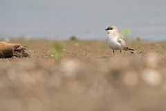 Vadarsvala_N81_7875 (Niklas_N) Tags: china bird nature yunnan kina nikkorafs500mmf4edvr