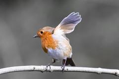 Robin waves goodbye -1210 (Martin Horne1) Tags: bird robin