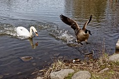 Bully Swan (conwest_john) Tags: wild swan canadagoose millpond specanimal