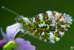 L'aurore (3) (mostodol) Tags: macro nature wow butterfly fuji papillon fujifilm raynox xa1 macrophotographie bonnette greatestphotographers