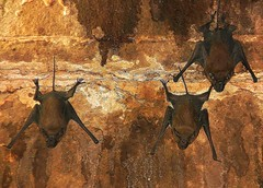 INDIEN, Fort Gwalior, Bats in the dark vaults, , 13612/6573 (roba66 (Thx for 20 Mill. views)) Tags: travel wild india tourism nature animal animals fauna dark keller tiere reisen asia asien vampire urlaub visit dracula explore horror creature gwalior indien dunkel tier inde voyages fledermaus northernindia fledermuse roba66 indiennord indienfortgwalior