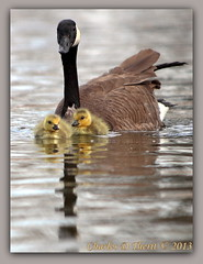 Newborn Canada Geese (ctofcsco) Tags: usa nature canon pond colorado babies unitedstates wildlife explore coloradosprings chicks 56 canadageese citypark superzoom 350mm 1640 50d monumentvalleypark eos50d ef35350mmf3556lusm
