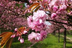 Kirschbltenallee Mauerweg Berlin/Teltow (1) (Lens Daemmi) Tags: berlin de cherry deutschland blossom hanami kirschblte teltow mauerweg kirschbltenallee